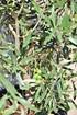 Olivenbaum (Hojiblanca) Busch frosthart - Olea europea Hojiblanca (4)