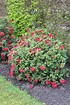 Rhododendron repens 'Scarlet Wonder' (4)