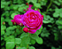 Rose Cybelle ® (im grossen Container) (4)