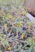 Schnurrbaum (Sophora 'Sun King') - Sophora prostrata Little Baby (4)
