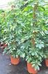 Strahlenaralie (Schefflera) Gelb - Schefflera arboricola (4)