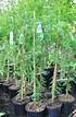 Sumpfzypresse - Taxodium distichum (4)