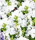 Super-Duft-Phlox-Kollektion, 6 Pflanzen (4)