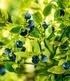 """Wald-Heidelbeere """"Blaue Waldfee"""",1 Pflanze (4)"""