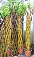 Weide 4-fach geflochten (dunkel) Säule XXL - Salix fragilis (4)