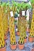 Weide 4-fach geflochten (hell) Säule XL - Salix alba (4)