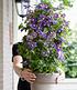 Winterharte Kletterpflanzen-Kollektion,2 Containerpflanzen (4)