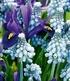 "Zwiebel-Mix ""Garden Blue"",25 Zwiebeln (4)"