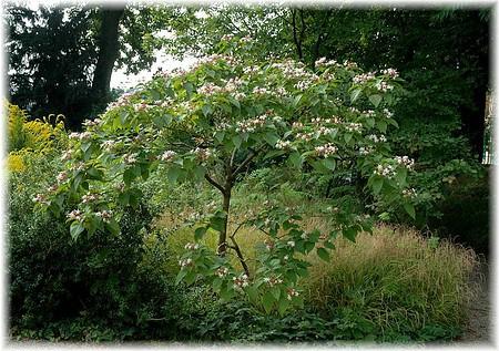Japanischer Losbaum Clerodendrum Trichotomum 3