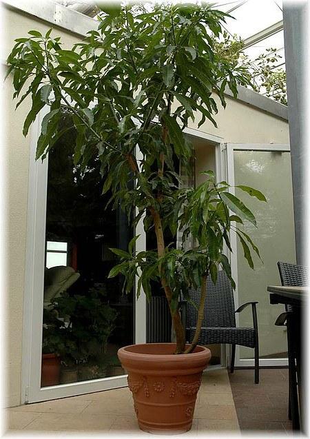 Mango Baum Züchten