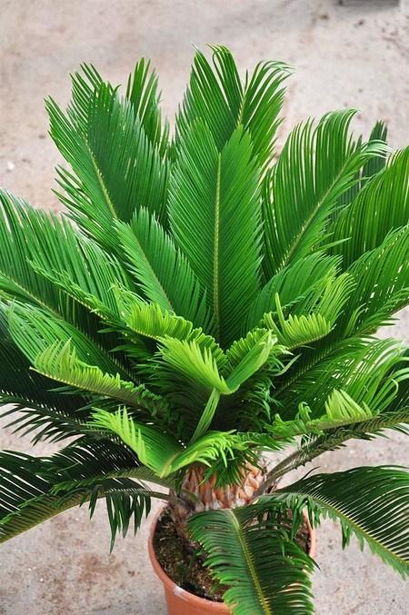 Palmfarn (Sago-Palme) - Cycas revoluta günstig online