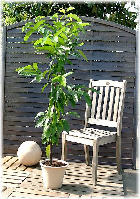 schwarze sapote diospyros digyna veredelt g nstig online kaufen mein sch ner garten shop. Black Bedroom Furniture Sets. Home Design Ideas