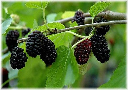schwarzer maulbeerbaum morus nigra g nstig online kaufen. Black Bedroom Furniture Sets. Home Design Ideas