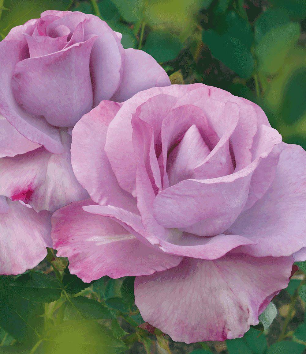 delbard kollektion parfum rosen 5 pflanzen g nstig online kaufen mein sch ner garten shop. Black Bedroom Furniture Sets. Home Design Ideas