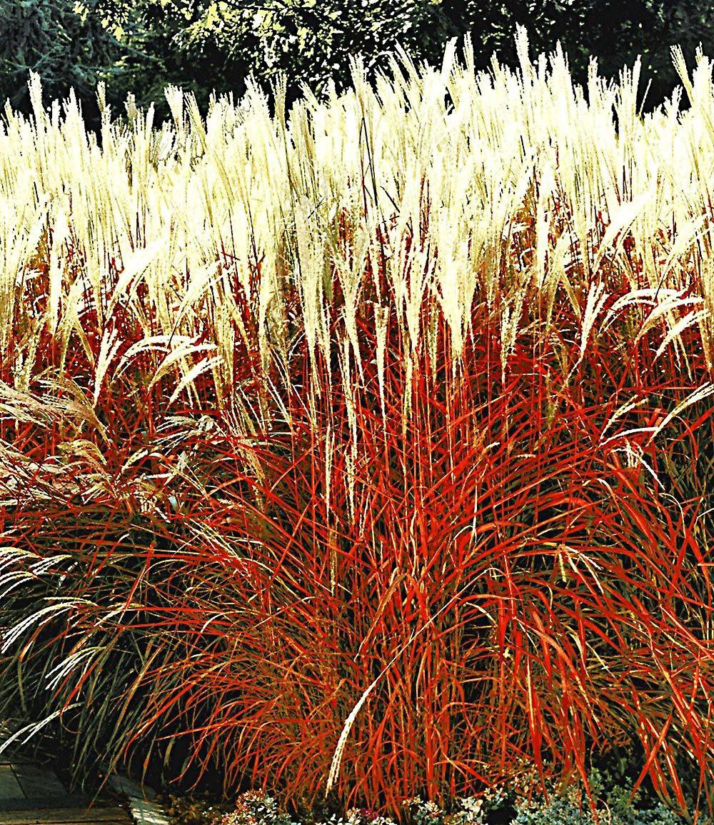 Gr ser kollektion 2 pflanzen g nstig online kaufen mein for Onlineshop pflanzen