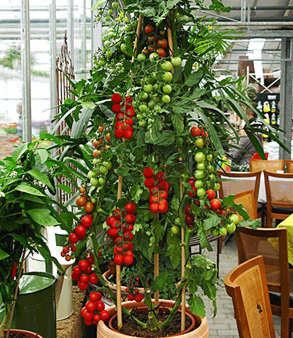 tomaccio tomate 2 pflanzen tomatenpflanze getrocknet trockentomaten g nstig online kaufen. Black Bedroom Furniture Sets. Home Design Ideas