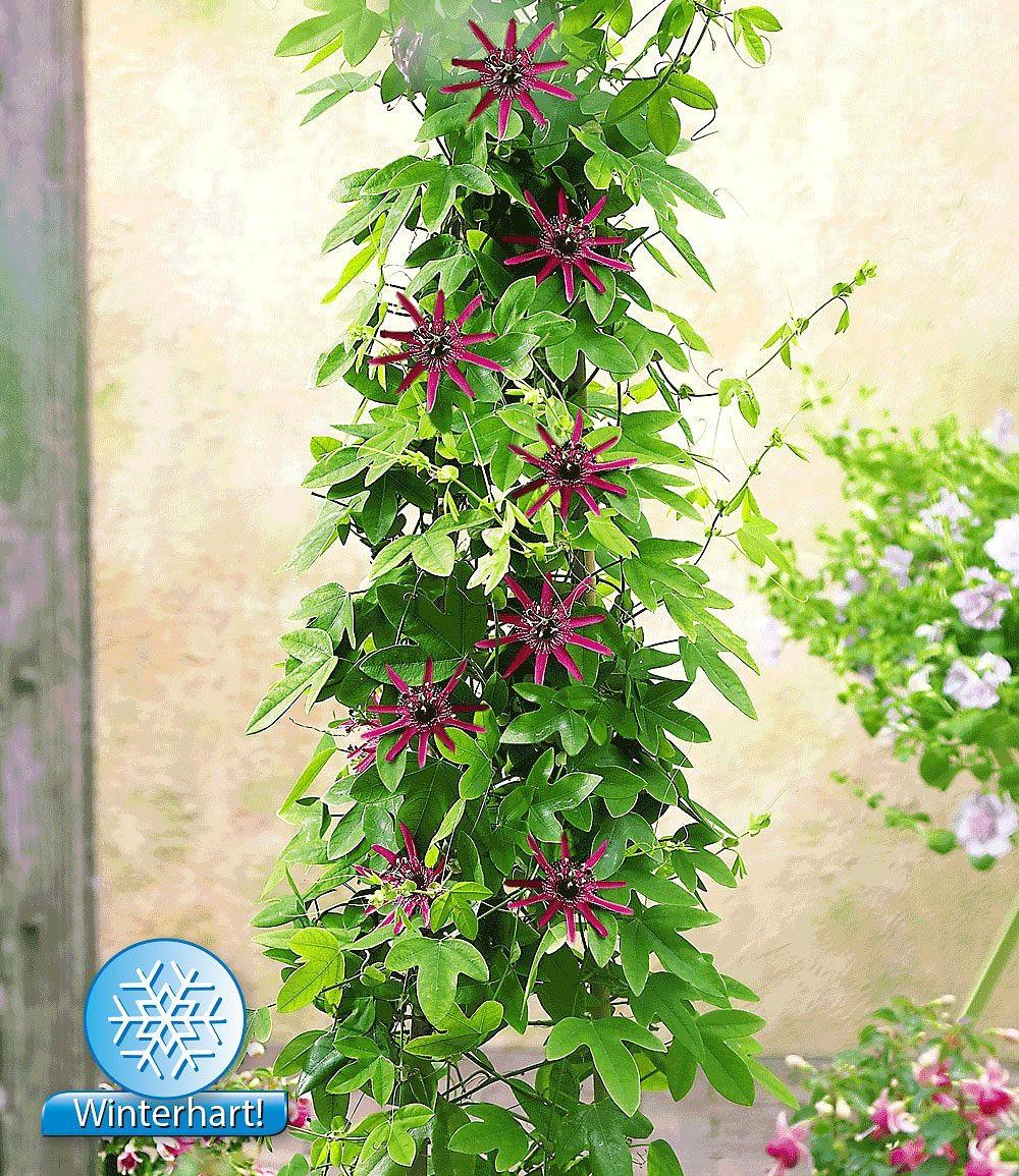 Winterharter Eukalyptus Winterharte Passionsblume 2 Pflanzen