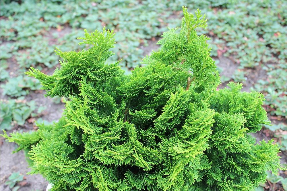 zypresse scheinzypresse zwerg muschelzypresse 39 nana gracilis 39 g nstig online kaufen mein