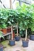 Aralie (Strahlenaralie) - Schefflera arboricola (3)