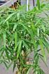 Bambus (Buddhas Bauch Bambus) - Bambusa ventricosa (3)