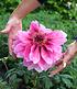 """Baum-Päonie """"Pink"""",1 Knolle (3)"""