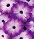 """Bienen-Petunie """"Purple Storm"""",3 Pflanzen (3)"""