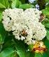 Bienenbaum - Tausendblütenstrauch,1 Pflanze (3)