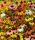 Bienenfreundlich Indian Summer Mix, 5 Knollen (3)