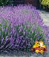 Bienenfreundliches Naschkörbchen,3 Pflanzen (3)