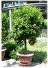 Calamondin Citrofortunella mitis (3)