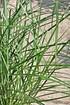 Chinaschilf (Ferner Osten) 12 Liter - Miscanthus sinensis (3)