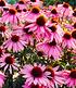 Echinacea purpurea,3 Pflanzen (3)