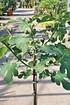 Echte Feige (Brown Turkey) Stamm - Ficus carica Brown Turkey (3)