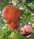 Exotische Früchte, 2 Pflanzen (3)