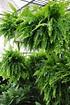 Farn (Schwertfarn) Green Lady - Nephrolepsis exaltata (3)