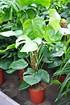Fensterblatt - Monstera pertusum (3)