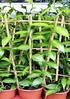 Gewürzvanille (Echte Vanille) - Vanilla planifolia (3)