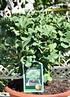 Ginkgo (Fächerblattbaum, Mädchenhaarbaum) (3)