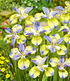 """Iris """"Tipped in Blue"""",1 Knolle (3)"""