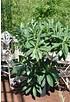 Japanischer Papierbusch - Edgeworthia chrysantha Grandiflora (3)