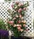 "Kletter-Rose ""Julie Andrieu®"",1 Pflanze (3)"