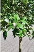 Limequat - Citrus limequat (3)