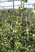 Lubera Apfel Paradis® Granny Swiss (3)