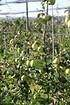 Lubera Apfel Paradis Granny Swiss als Hochstamm, 3-jähr Hochstamm (3)