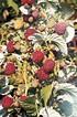 Lubera Bundle mit 36 Primeberries Autumn First (3)