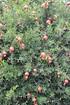 Lubera Granatapfel Favorite (3)