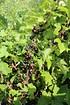 Lubera Johannisbeere Cassissima® Black Marble (3)