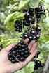 Lubera Johannisbeere Cassissima®Nimue® (3)