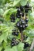 Lubera Johannisbeere Lowberry® LittleBlack Sugar (3)