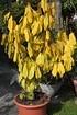 Lubera Pawpaw Sunflower (3)